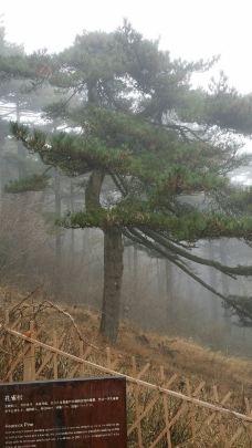 孔雀松-黄山风景区-sy梧桐