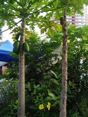 最爱院子里的木瓜树和杨桃树,无限免费采摘,免费吃,吃货们这里就是